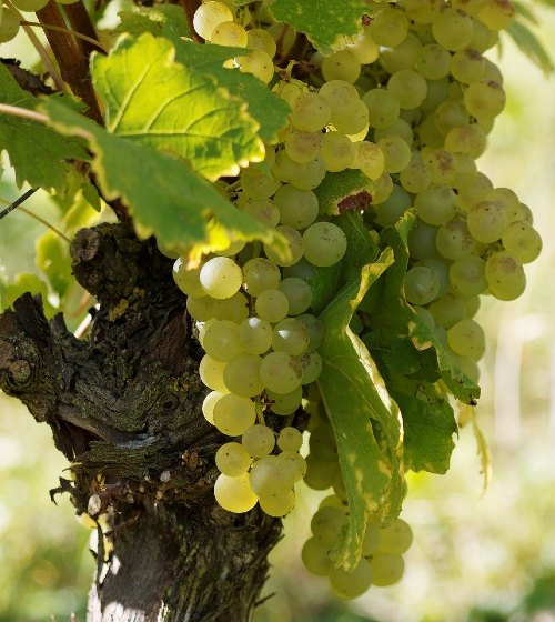 Vinarija-pavlečić-vinograd